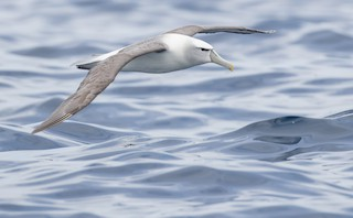 White-capped Albatross soaring over ocean waves