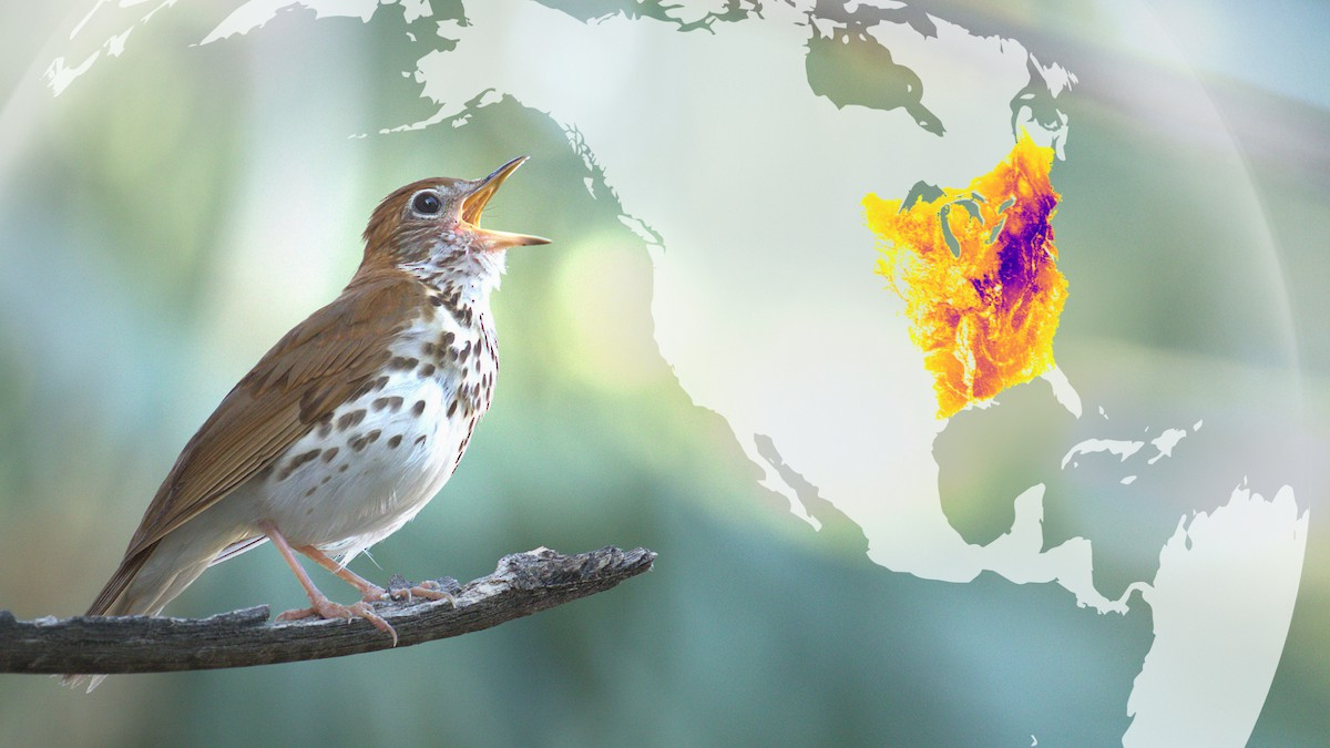 Singing Wood Thrush with abundance map